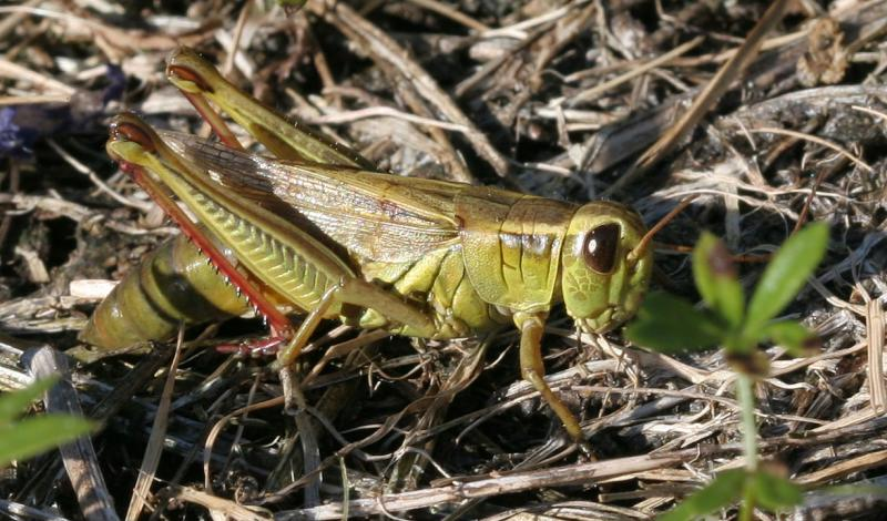Grasshopper in detail
