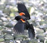 Birds Red Wing Black bird