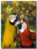 2 Macaws