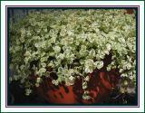 Sedum  in flower