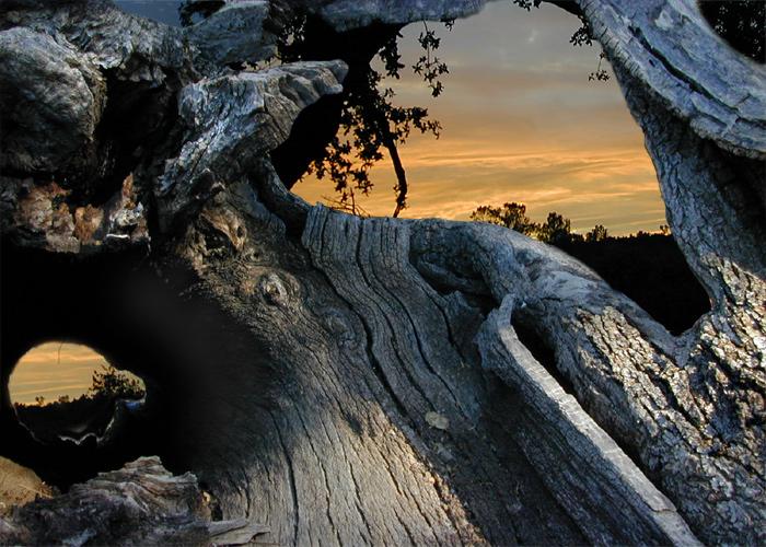 Sunset Through Oak.jpg