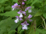 Small Purple-fringed Orchid (natural hybrid)