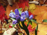Gentian above pool of fall leaves