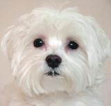 Puppy (My daughter's Maltese)