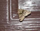 Forage Looper Moth (Caenurgina erechtea)