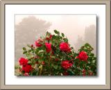 Camelias in the mist