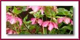 Winter rose - Hellebore