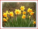 daffodils in the mist