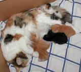 Siberians kittens are growing - siperiankissanpennut kasvavat