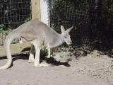 Loose 'Roo at KC Zoo