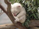 Albino Koala, San Diego Zoo