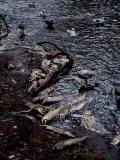 Salmon graveyard 3.jpg