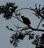 Solitary eagle.jpg
