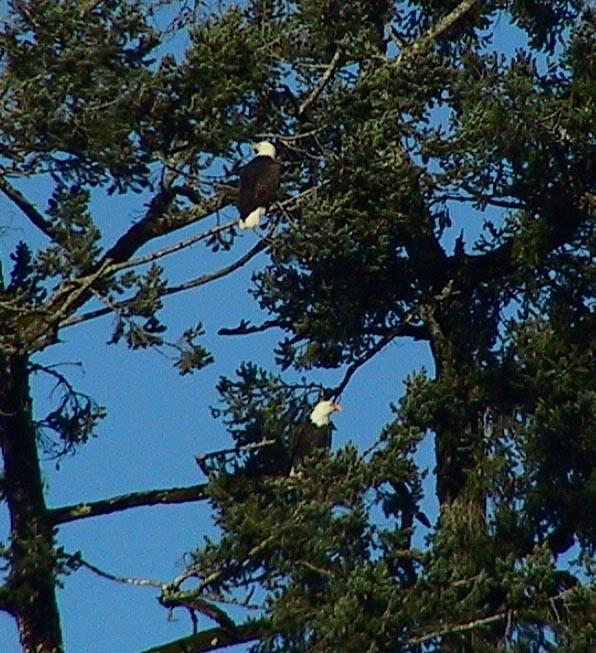 Pair of eagles 2.jpg