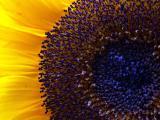 68_sunflower_gd_4w.jpg