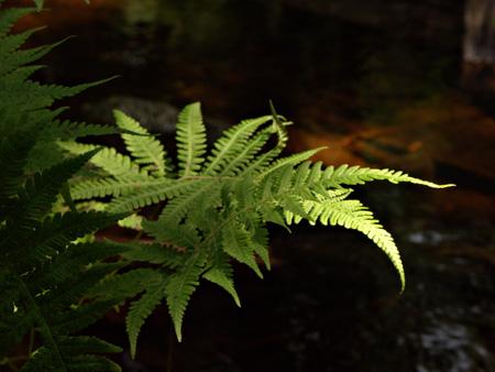 33_forest_fern_gd_4w.jpg