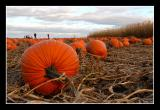 In Search of the Perfect Pumpkin...