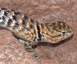 Spiny Lizard head.jpg