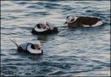 Long-tailed Ducks 2278.jpg