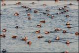 Long-tailed Ducks 2279.jpg