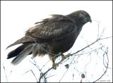 Rough-legged Hawk dark morph 2414.jpg