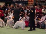Setters at 2004 Westminster Kennel Club