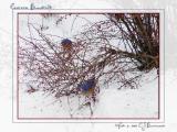 3 Male Eastern Bluebirds - 007