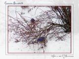 3 Male Eastern Bluebirds - 008