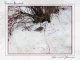 Female Eastern Bluebird - 017