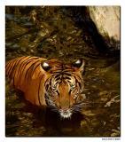 Fort Worth Zoo. IndoChinese/Malayan Tiger..jpg