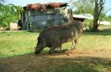Munching warthog