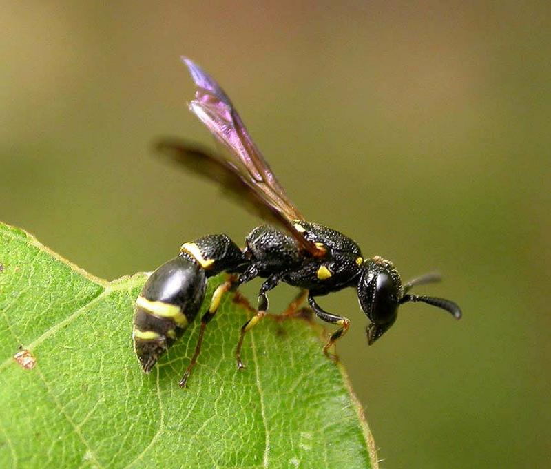 Mason wasp, probably <i>Symmorphus sp. </i>