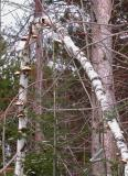 Birch polypore -- Piptoporus betulinus