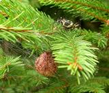 Spider D in spruce tree with egg case
