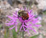 red-tailed bumble-bee - 2