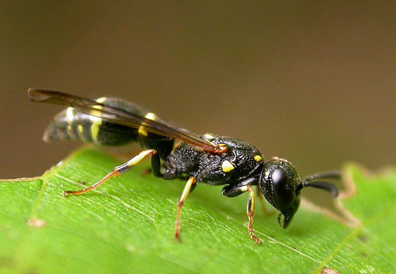 Mason wasp, probably <i>Symmorphus sp.,</i> family Vespidae (subfamily Eumeninae)