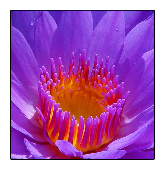 <B>4th Place</B><BR><i>Colourful Lily<br>by Vikas</i>