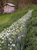 Historic Daffodils ~ WV  ~ 2003