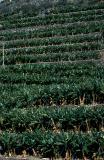 Plantation near Tazacorte