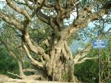 700 year-old tree at Upper Yen Tu pagoda-Quang Ninh province