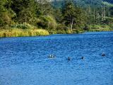 040812 Family Of Ducks