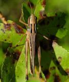 Admirable Grasshopper