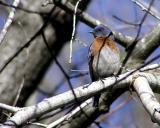 w bluebird male lc 2.jpg