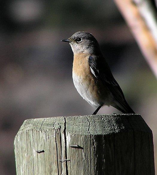 w bluebird female lc.jpg