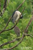 Black-crowned Night-Heron   Scientific name - Nycticorax nycticorax   Habitat - Uncommon, roosting in trees often near water during the day, flying out in loose flocks at twilight to feed in a variety of wetlands from ricefields to mangroves.