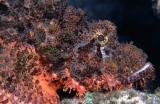 Peixe Escorpião - Scorpion fish