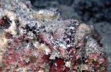 Peixe Pedra - Stone Fish