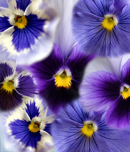 Pansy collage  PS6 Layer Masks