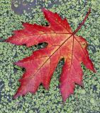 Maple Leaf on Duckweed