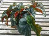 Begonia Southern Belle